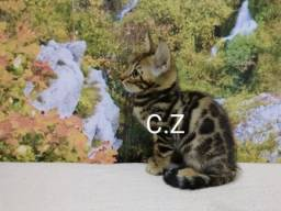 Gato Bengal macho filhote com pedigree e microchip
