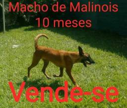 Pastor Belga de Malinois Macho 10 meses com Pedigree