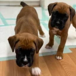 Lindos filhotes de Boxer a pronta entrega com garantia