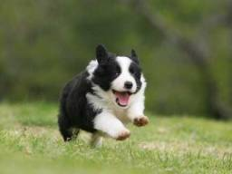 Border Collie - Filhotes macho e fêmea <br>a pronta entrega