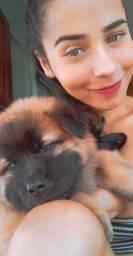 Vendo cachorro da raça chow chow puro com 2 meses vacinado !