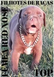 Os FILHOTES de pitbull mais bonitos do olx em até 12VEZES no cartão