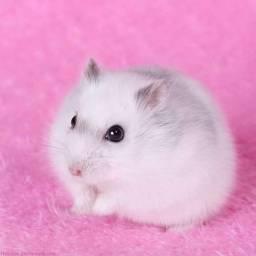 Hamster anão russo pérola... Hamster chinês