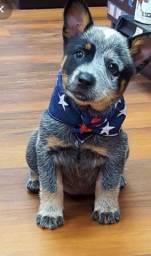Cães Raça! Boiadeiro Australiano Filhote. com Pedigree e Garantia de Saúde