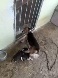 Vendo cachorra beagle