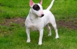Bulli terrier