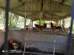 Venda de galinha caipira