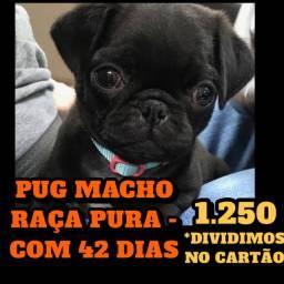 PROMOÇÃO PUG MACHO FILHOTE