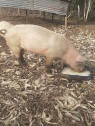 Porco e porca
