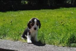 Brincalhões!!! Filhotes de Beagle a Pronta entrega