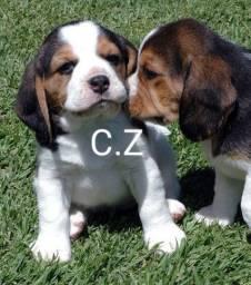 Filhotes de Beagle Pronta para entrega