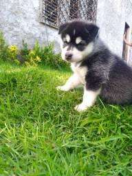 Filhote fêmea de Husky Siberiano.