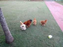 Vende-se 3 galinhas e 1 Galo Conchinha