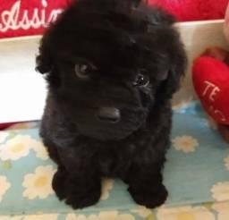 Filhotes de poodle : Diamante negro !!