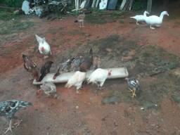 Venda de patos e galinhas