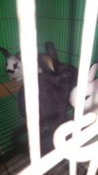 Coelhos , 3 filhotes medio porte , 2 brancos e 1 preto