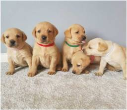 Labrador - Lindos Filhotes