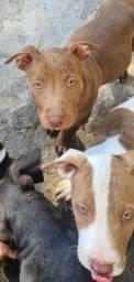 Pitbull Monster filhote com 2 meses vacinados