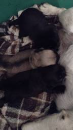 Pug bebês