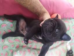 Pug Black macho