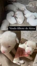 Vendo Filhotes de Akita