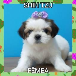 Shih Tzu Fêmea linda