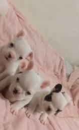 Colina Kennel disponibiliza filhotes de Bulldog francês