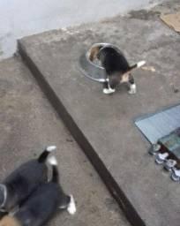 Beagle Mini Filhotes, Lindos demais, Quem vê leva!! Parcelamos!! Valor promocional