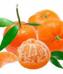 Muda De tangerina Ponkan Produzindo A Melhor Mexerica *