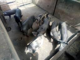 Porcos caipira para o natal