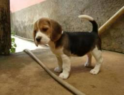 Filhotes de Beagle entrego