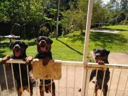 Rottweiler Cabeça de Touro PURO com Pedigree de linhagem ADRK (ALEMÃO)