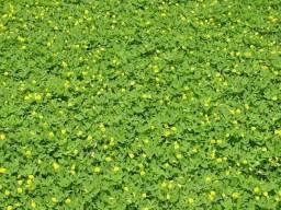 Sementes Amendoim Forrageiro ideal p/ áreas públicas, jardins ideal p/ controle de erosÃ