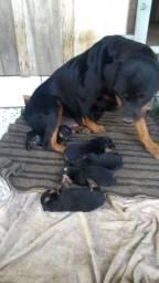 Cão de Guarda Porte Grande - Rottweiler Macho e Femêa