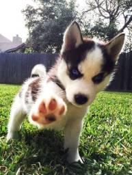 Filhotinhos de Husky Siberiano macho e fêmea disponíveis