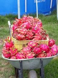 Pitaya e goiaba vermelha