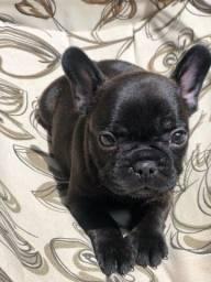 Maravilhosos filhotes Bulldog francês
