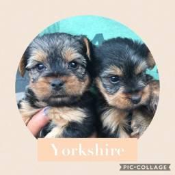 Yorkshire com pedigree e microchip em ate 18x e
