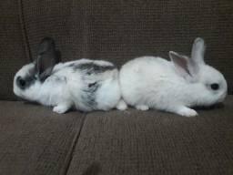 Vendo filhotes de coelhos mancinhos da raça netherland