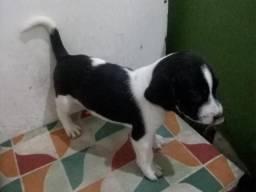 Beagle filhotes (Nao Respondo Chat) Telefone P Contato na Descricao do Anuncio