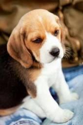 Lindos beagles filhotes com pedigree e recibos