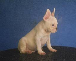 Bulldog francês macho branco