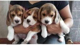 Lindos filhotes de beagles vermifugados