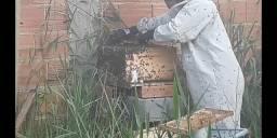 Enxame de abelhas Apis Melifera