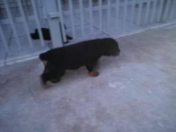 Rottweiler R$300,00 a R$700,00