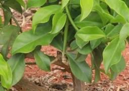 Planta ora pronobolis