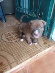 Filhote Macho Pit Monster Red Nose