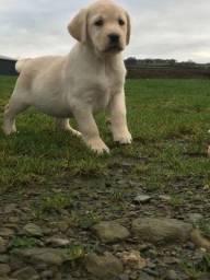 Labrador - Filhotes macho e fêmea <br>a pronta entrega
