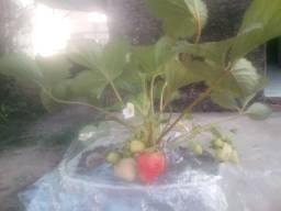Morangueiros com frutos