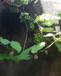 Mudas de uva, vende-se